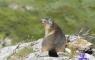 Marmotte dans le cirque d'Estaubé