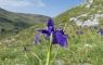 Iris des Pyrénées