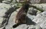 Marmotte au lacs de Micoulaou