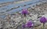 Ciboulette au lac Blanc