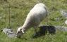 Mouton près de Tounaboup