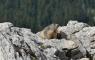 La marmotte du Grand Veymont