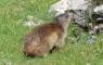Marmottes aux Oulettes d'Ossoue