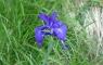 Iris latifolia, l'iris des Pyrénées