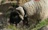 Mouton près du refuge des Sarradets