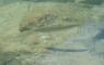 Truite dans le lac de Chabarrou