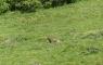Marmotte près de Bouleste