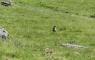 Marmotte à Bouleste