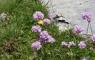 Fleurs de ciboulette sauvage