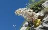 Saxifrage des Pyrénées (Saxifraga longifolia)